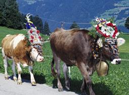 Almabtriebsfeste im Zillertal 2016